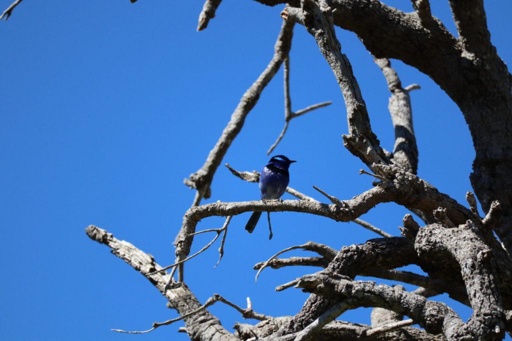 青い鳥さん