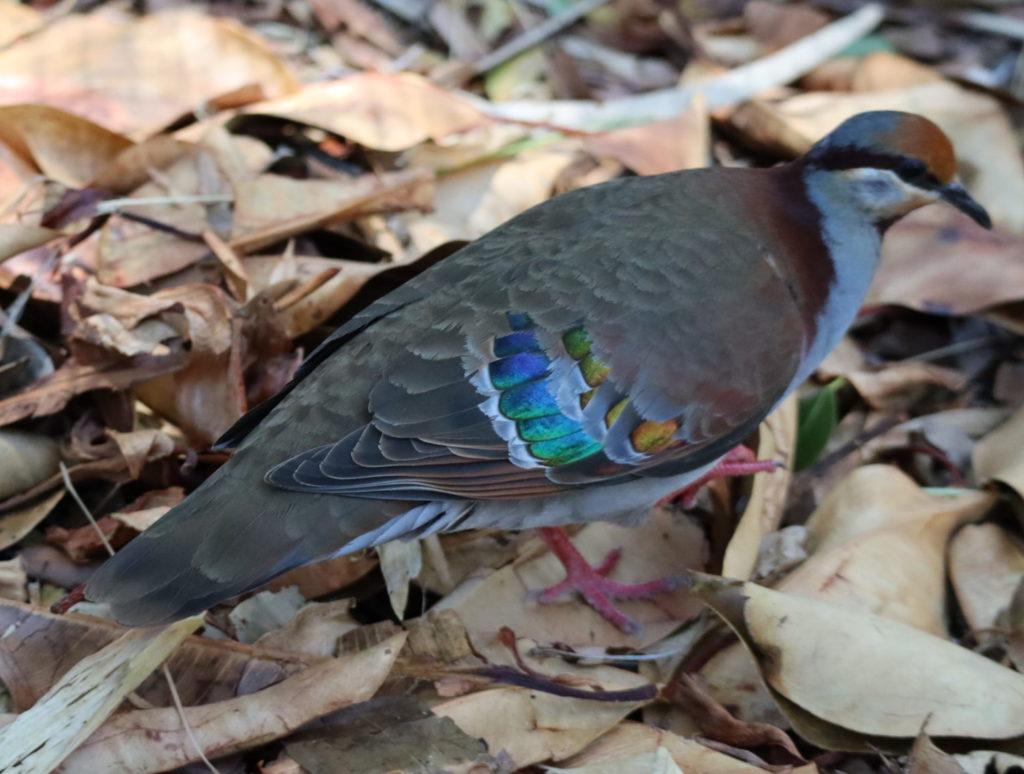 羽先が虹色な鳩さん