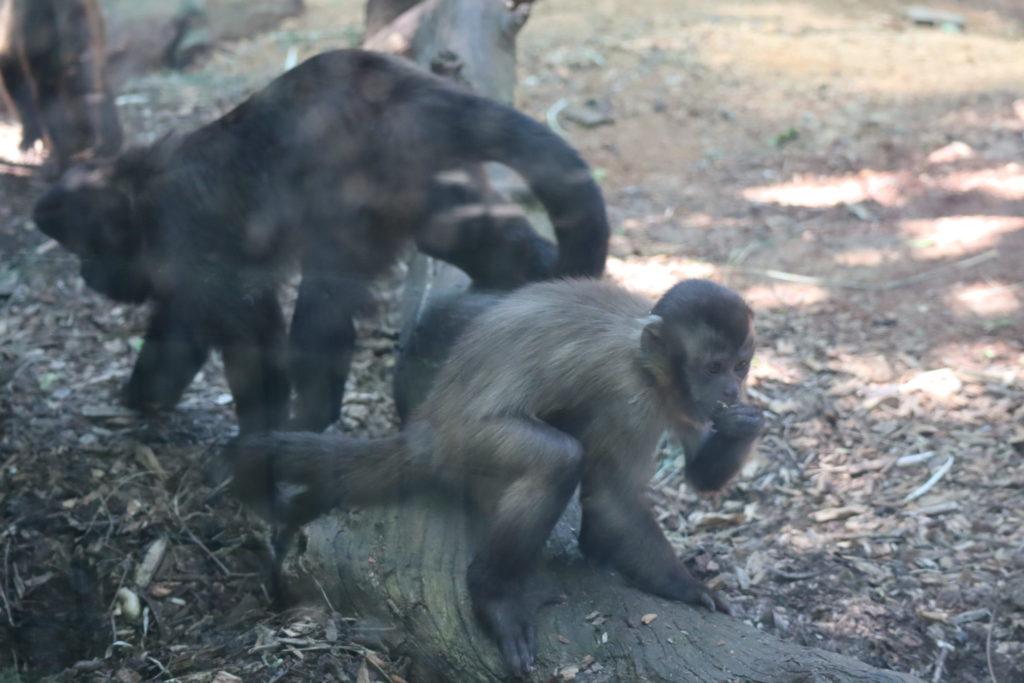 ヤンキー猿